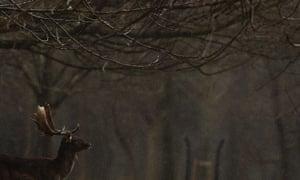 A fallow deer buck during a heavy shower in Phoenix Park, Dublin