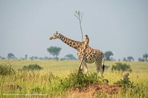 A monkey riding a giraffe at Murchison Falls, Uganda