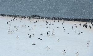 Adélie penguin colony in Hope Bay on Trinity Peninsula