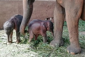 Surangi, a 25-year-old elephant, with her twin calves born nearly five hours apart. This is the first such birth at the facility since it was set up in 1975 to care for destitute elephants, in Pinnawala, Sri Lanka