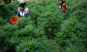 Two women collect marijuana in a rural zone of Toribio, in the province of Cauca, Colombia, on 28 August 2016.