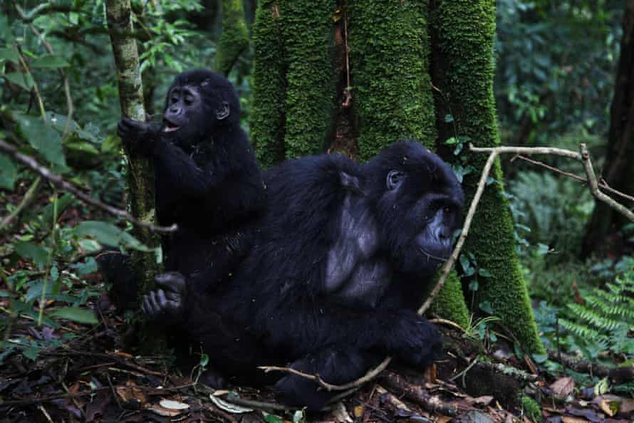 A mountain gorilla from the Mukiza family rests with an infant.