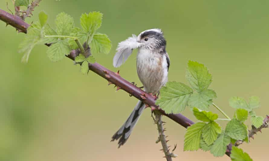 A long-tailed tit (Aegithalos caudatus) collecting nesting material.