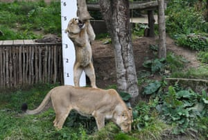 Lions reach for meat