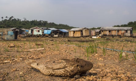 A dead Bodó, in front of stranded floating houses on the bed of Negro River, a major tributary of the Amazon River, during a drought in 2015