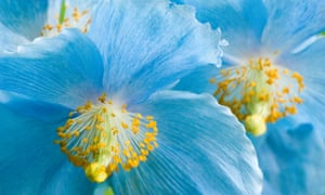 Himalayan blue poppy, meconopsis