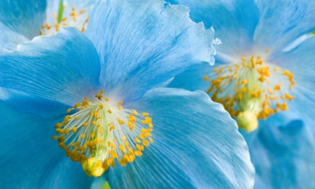 Himalayan blue poppy, meconopsis