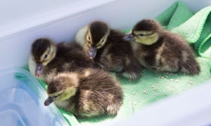 Madagascan pochard ducklings