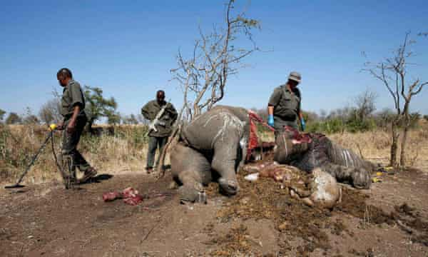 A ranger looks on after performing a post mortem on the carcass of a rhino killed by poachers in Kruger national park