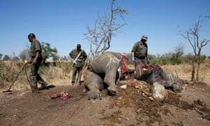 在克鲁格国家公园的偷猎者杀死的犀牛胴体上进行验尸后,护林员看了一眼