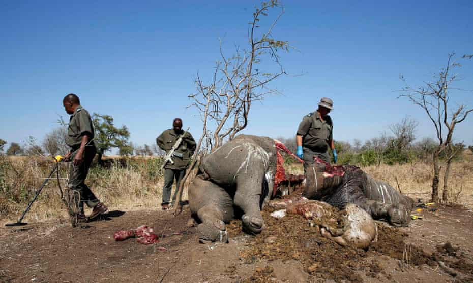 A ranger looks on after performing a post-mortem on a rhino killed for its horn in South Africa's Kruger national park.