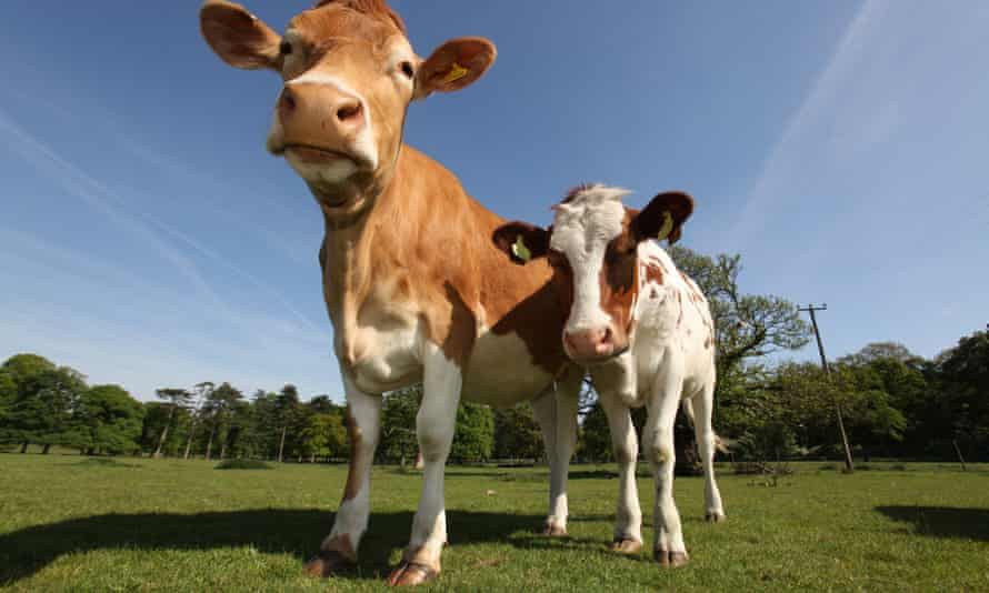 Estate of Tatton Park, England. Close up wide angle view of cows at Tatton Park Home Farm.