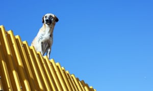 A dog looks out from a rooftop