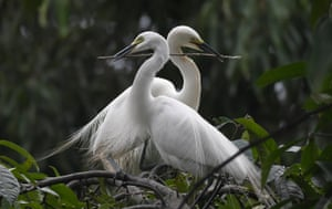 A pair of egrets build their nest in Panbazar area on the banks of the Brahmaputra river in Guwahati, India