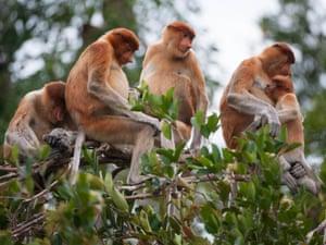 Proboscis monkeys, Tanjung Puting, Borneo.