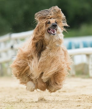 An Afghan Hound in motion at the South East Afghan Racing Club, near Bicester