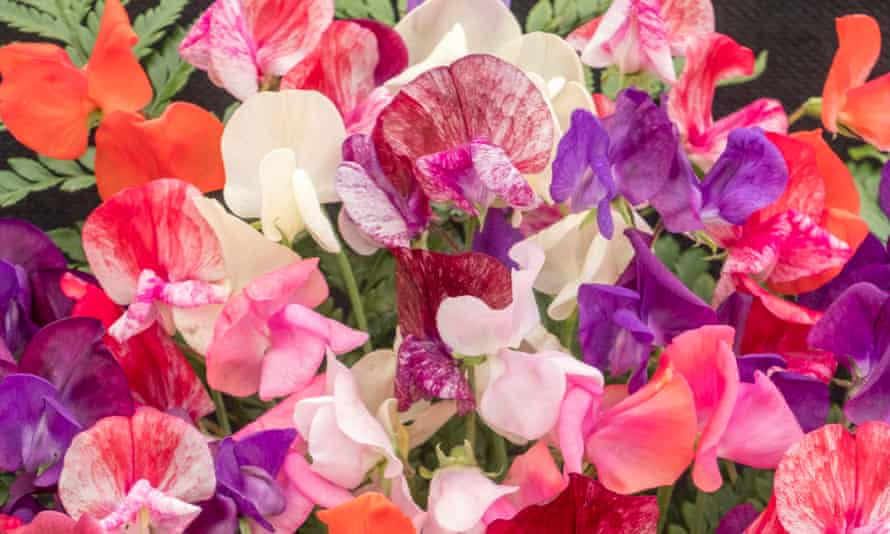 Sweet pea old fashioned mix