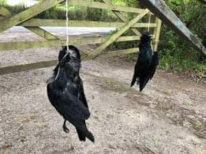 Dead crows strung up outside the home of Chris Packham