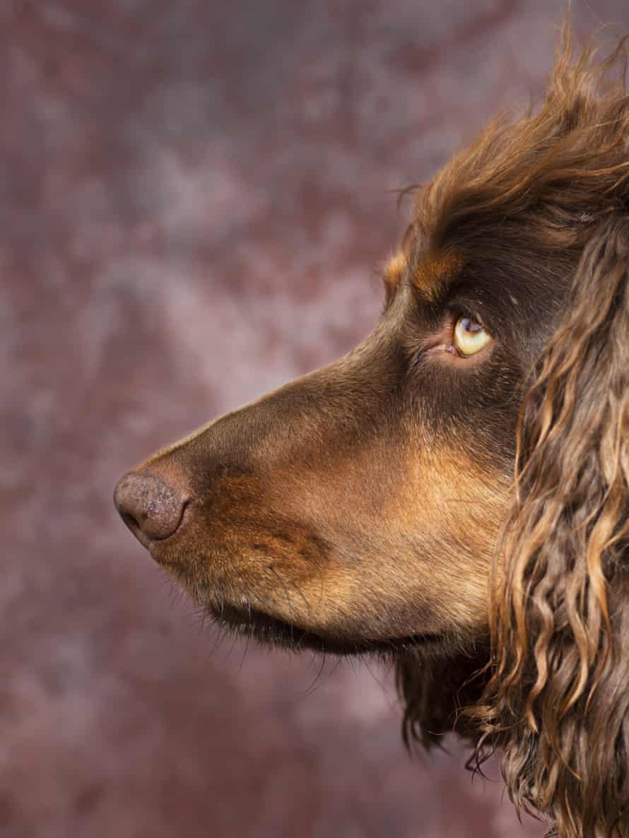 a side profile of a brown spaniel