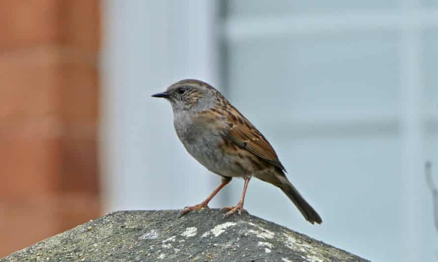 A dunnock, Henley-on-Thames, Oxfordshire.