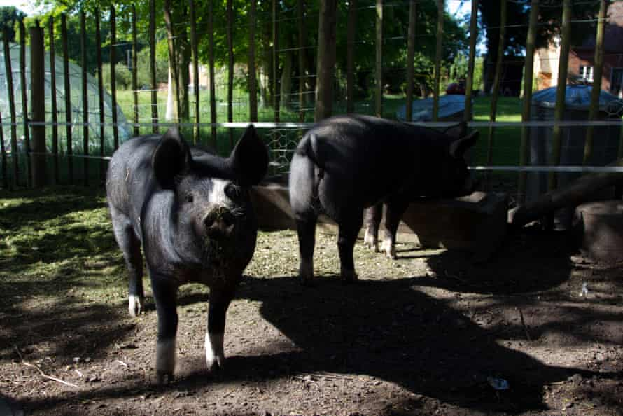 'My atavistic urge to turn my pigs into bacon, to make the most delicious charcuterie, is at odds with the morality.'