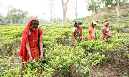 Women pick tea at the Gulni tea estate near Sylhet, northern Bangladesh.