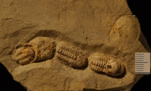 A 370 million year old trilobite peloton? From the Holy Cross Mountains, Central Poland.