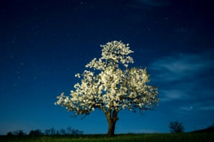 Blossoming cherry tree in the Somosko district of Salgotarjan, Hungary