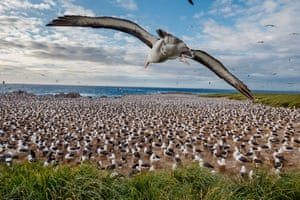 Albatross colony, Steeple Jason Island, Falkland Islands, 2015.