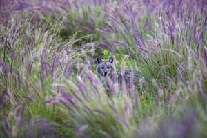 A jackal looks out from the bushes at HaYarkon Park in Tel Aviv, Israel