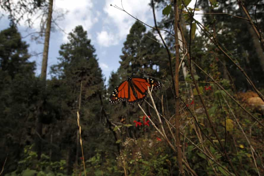 A monarch butterfly sits on a branch at the Sierra Chincua Sanctuary, in the mountains of Michoacán.