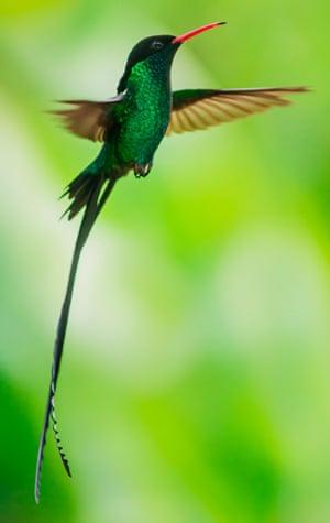 Wild at heart: a hummingbird in flight.