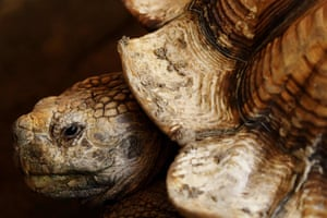 San Salvador, El SalvadorOne of the two African spurred tortoises (Centrochelys sulcata) donated by the Salvadorean Arauca breeding farm is pictured during their presentation at the National Zoo