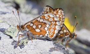 Marsh fritillary butterflies mate