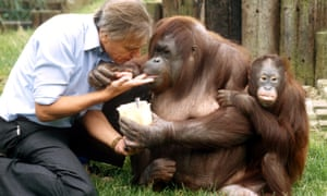 Attenborough helps to feed an orangutan and her baby in 1982.