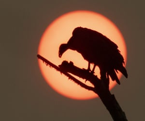 Smoke from numerous nearby wildfires tints the sun a vivid colour as a vulture is silhouetted from its perch on a dead tree near Elkton in western Oregon