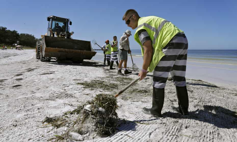 Work crews clean up dead fish along Coquina Beach on 6 August.