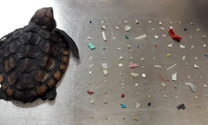 A turtle who died after ingesting 104 pieces of plastic.