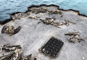 Dead seabirds lie on a pier with plastic debris on Midway Atoll in the Hawaiian archipelago