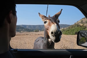 Karpas, Cyprus. A donkey approaches a passenger in a vehicle along a road in the northern part of the peninsula