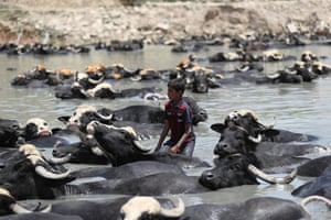 Baghdad, Iraq. A child cools off cattle in the Diyala waterway