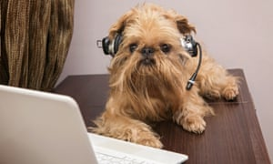 Dog breed Griffon Bruxellois sits near the laptop headphonesDY75TX Dog breed Griffon Bruxellois sits near the laptop headphones