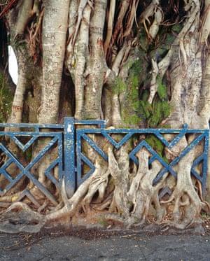 Big tree roots grow through a iron fence, in Sainte-Marie, La Réunion