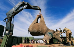 Kenya Wildlife Service rangers load a tranquillised elephant onto a truck during a translocation exercise in Solio Ranch in Nyeri County, Kenya