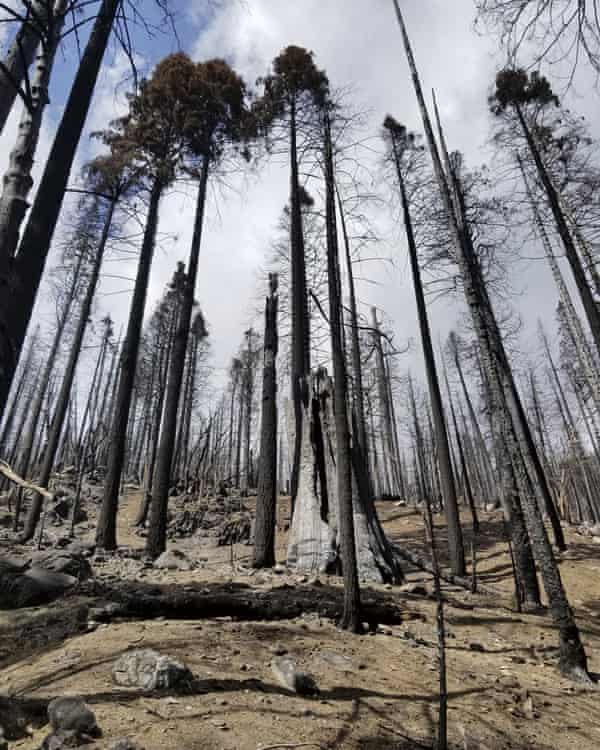 A stand of burned sequoias in the Board Camp Grove in Sequoia national park.