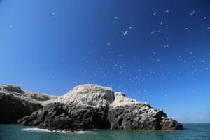 Gannets fly over Grassholm Island.