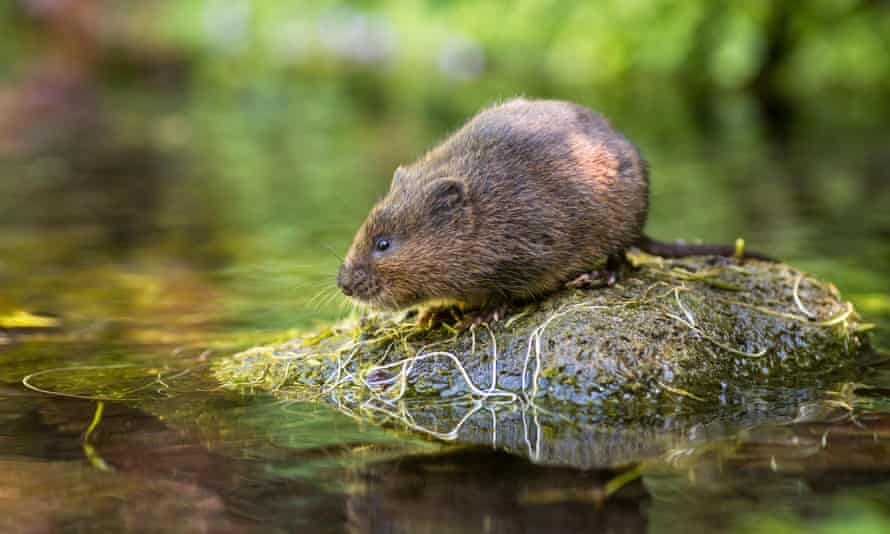 Water voles bring benefits to the countryside