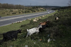 Goats and sheep are seen near the empty Istanbul airport highway in Istanbul, Turkey, on 19 April.