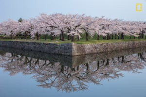 Cherry blossoms reflected in perfect condition, in a photo taken on the Japanese island of Hokkaido.
