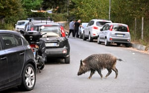 A wild boar roams in Rome, Italy.